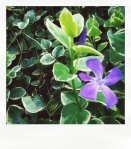 variegated trailing vinca (ground cover)