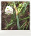 leucojum (white snowflake)
