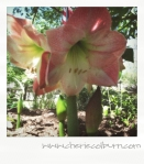 apple blossom amaryllis