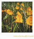 petticoat daffodils