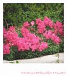 pink snapdragon