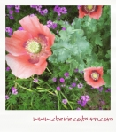 poppies in verbena