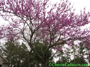 redbud in bloom (The Woodlands, Texas)